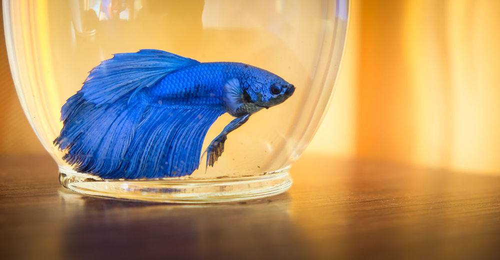 Close-up of siamese fighting fish in fishbowl on table