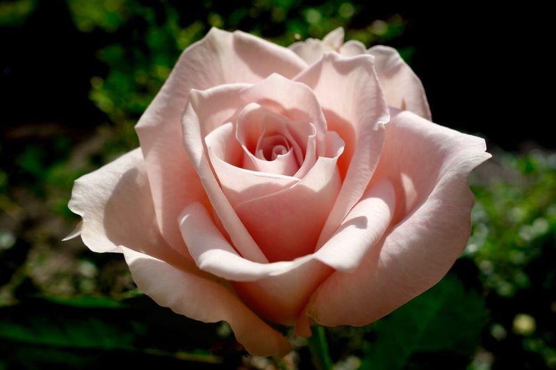 Rose flower of love Roses, Flowers, Nature, Garden, Bouquet, Love, Rose Petals Pastel Rose Pink Flower Rose - Flower Rosé Love Flowers Focus On Foreground Nature Close-up Inflorescence Flower Head Beauty In Nature Flower Vulnerability  Rosé Plant Flowering Plant Fragility Petal Freshness Pink Color