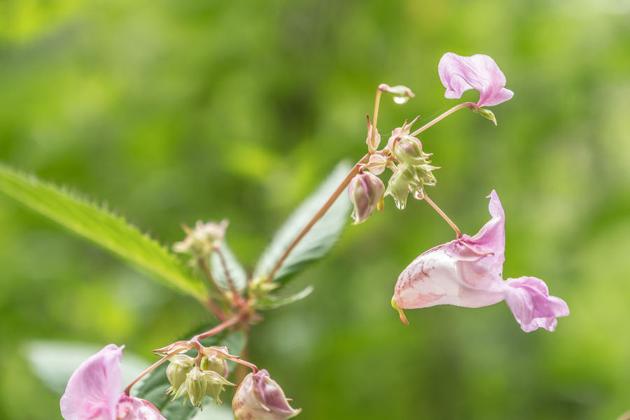Animal Themes Beauty In Nature Blooming Close-up Day Flower Flower Head Focus On Foreground Fragility Freshness Growth Himalayan Balsam Insect Nature No People Outdoors Petal Pink Color Plant