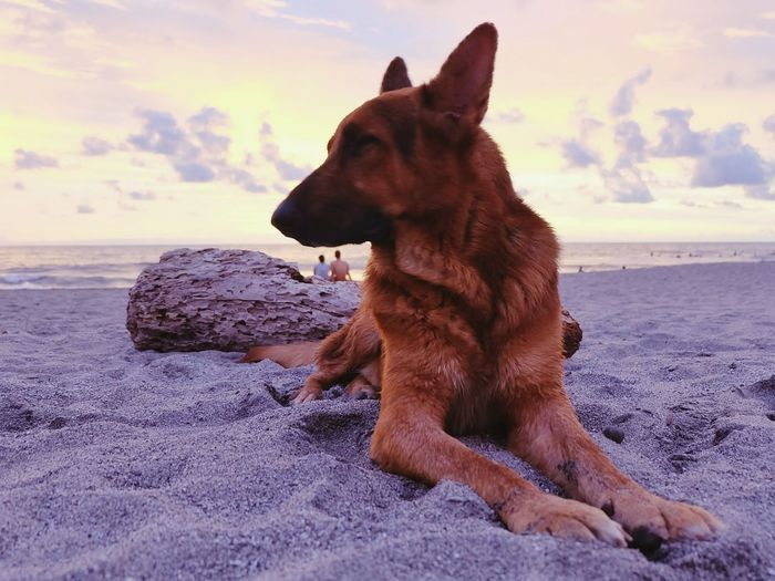 Close-up of dog at beach against sky during sunset