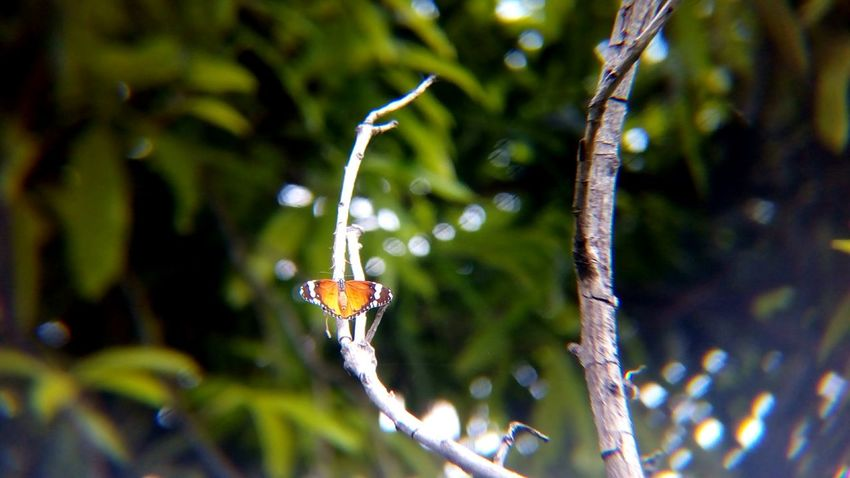 Animal Wildlife Animals In The Wild One Animal Insect Animal Themes Nature No People Outdoors Close-up Day Beauty In Nature Perching Tree Butterfly - Insect Backgrounds India Plain Tiger Butterfly African Monarch Butterfly Danaus Chrysippus Shot With Mobile Clip Lens