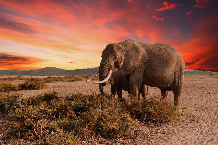 Amboseli Sunrise Mammal Animal Animal Themes Elephant Sky Cloud - Sky Environment Beauty In Nature African Elephant Safari Animal Wildlife Sunrise