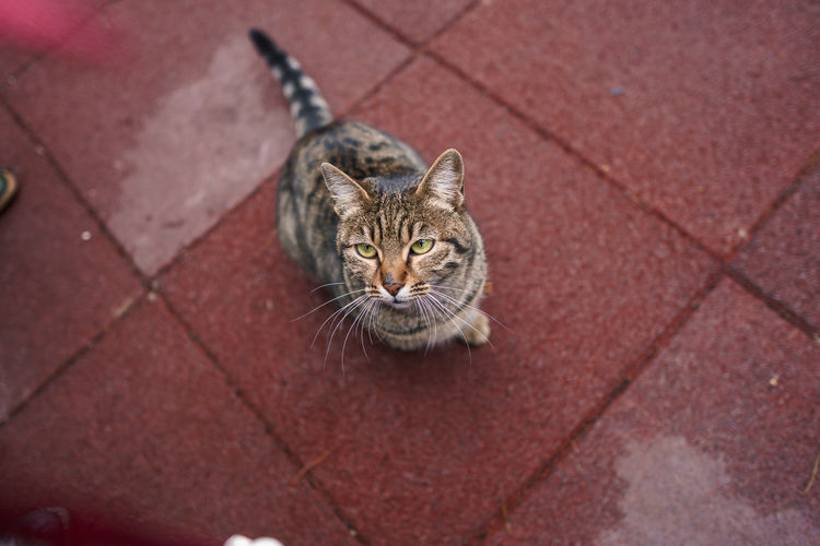 High angle view portrait of cat on footpath