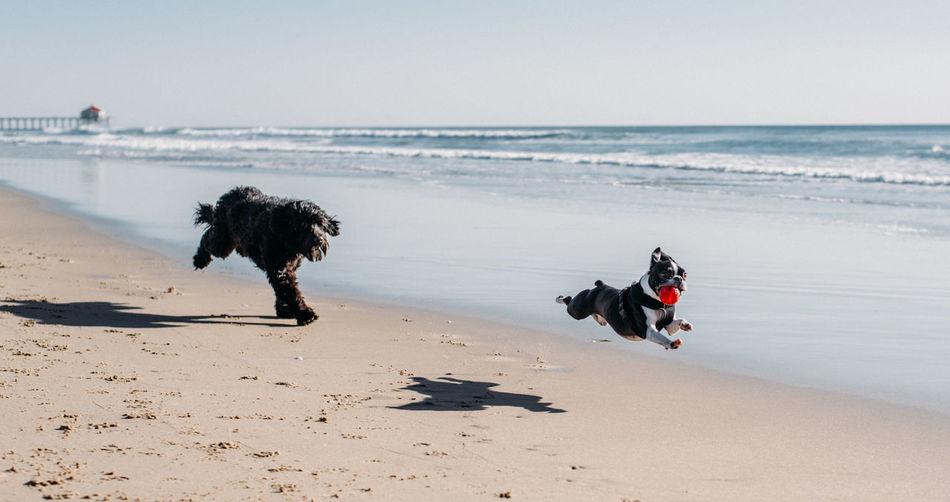 Animal Animal Themes Beach Boston Terriers Canine Dog Domestic Domestic Animals Horizon Horizon Over Water Land Mammal Nature One Animal Pets Sand Sea Sky Vertebrate Water