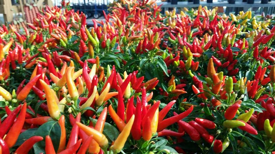 Close-up Garden Center Growth Hot Peppers Nature Outdoors Peppers Plant Red
