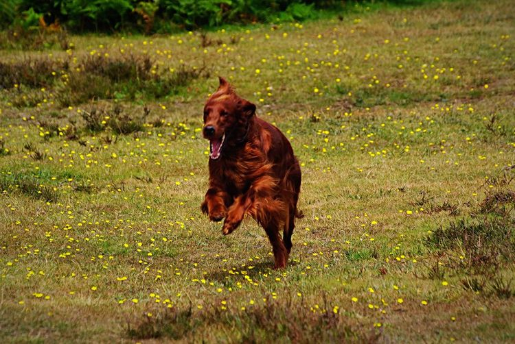 Running like the wind Dog Pets Domestic Animals Animal Themes One Animal Grass Mammal Sticking Out Tongue Green Color Field Outdoors Protruding Day No People Nature Panting Full Length Irish Setter Dogs Dogslife Dog Running Dog Running Towards Photographer Dog Running Towards Camera New Forest National Park New Forest, Hampshire. UK