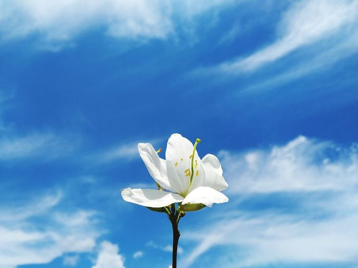 Close-up of white flowering plant against blue sky