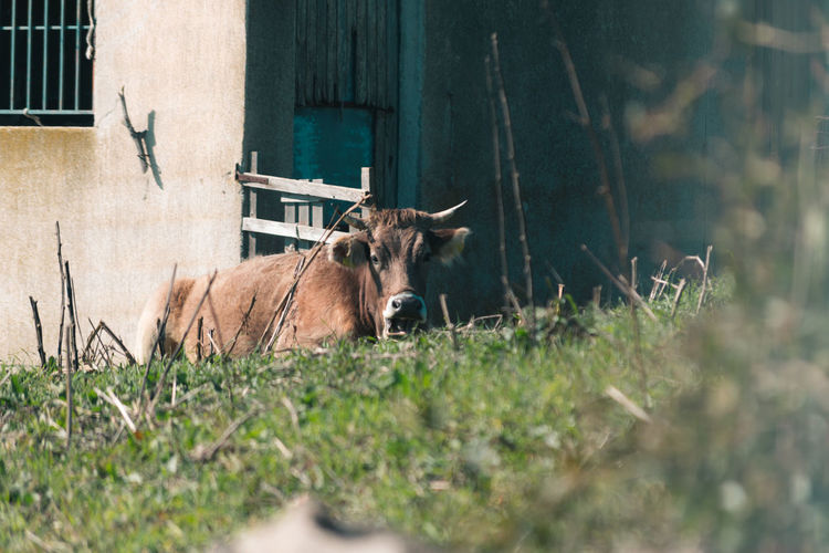 Cow in the warm rays of the sun