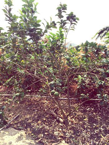 Lemontree Lemon Tree Taiwan