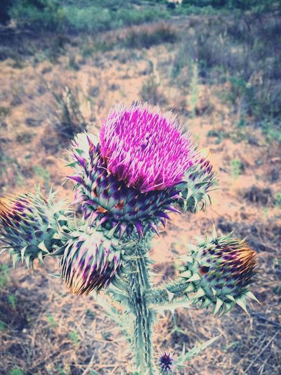 Flower Purple Nature Outdoors Beauty In Nature Flower Head Plant Tumblr Tumblr ❤ Ioan Fotonatut Thistle No People Day Cactus Growth Tranquility Fragility Close-up Freshness