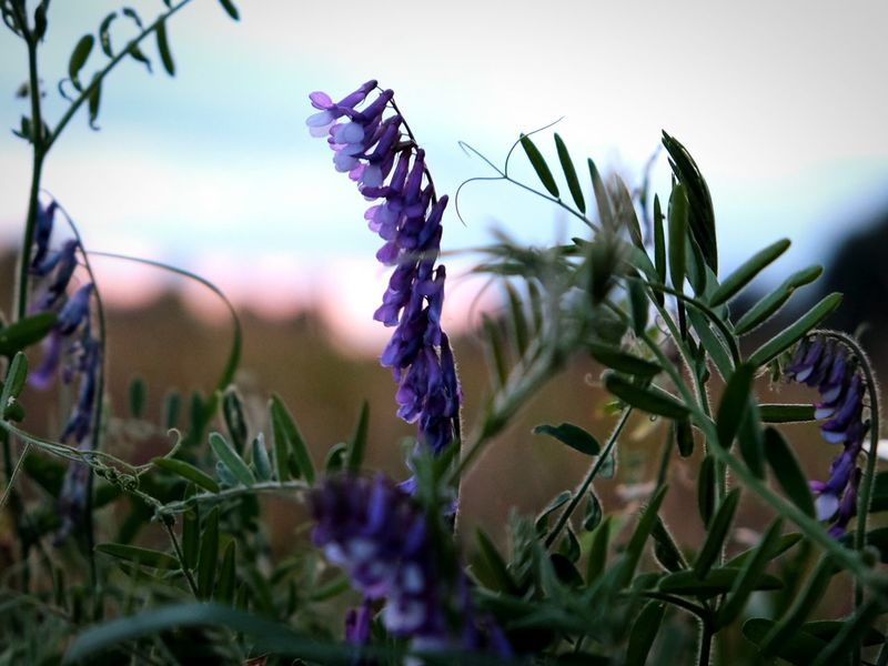 EyeEm Selects Flower Plant Purple Nature Wildflower Herb Rural Scene Uncultivated Leaf Poppy Flowerbed Outdoors Growth AgricultureNo People Close-up Sky Day Flower Head Camera Happiness Photography Silhouette Beauty In Nature