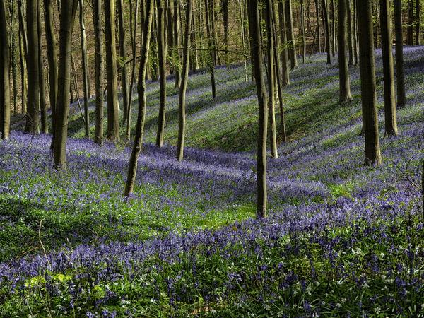 Hallerbos Hallerbos - Bois De Hal Hallerbos -bois De Hal Hyacint Hyacinth Hyacinth Flower Hyacinths Purple Flower Purple Flowers
