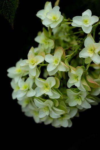 紫陽花 Flower EyeEm Best Shots