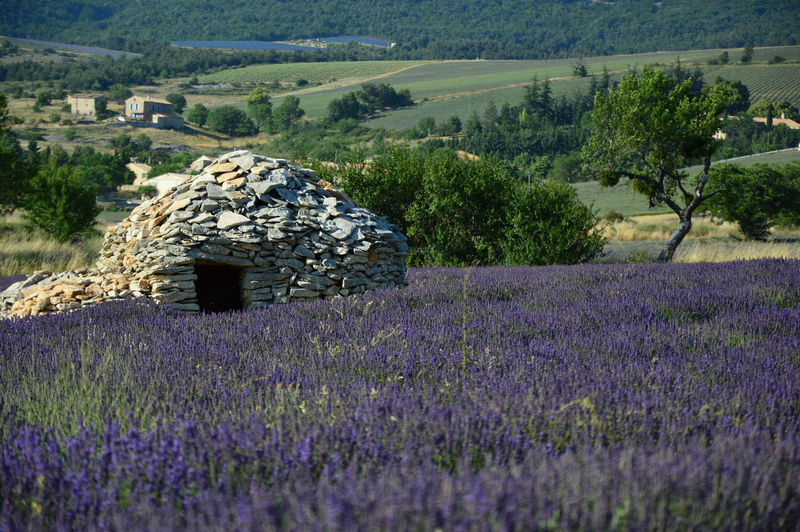 Borie en South of France ,Provence Borie En South Of France ,Provence Lavender Field Agriculture Beauty In Nature Borie Field Flower Flowering Plant Growth History House House Of Stones Landscape Lavender Levander Levander Field No People Plant Purple Rural Scene Sault  South Of France Stones Tranquil Scene Tranquility