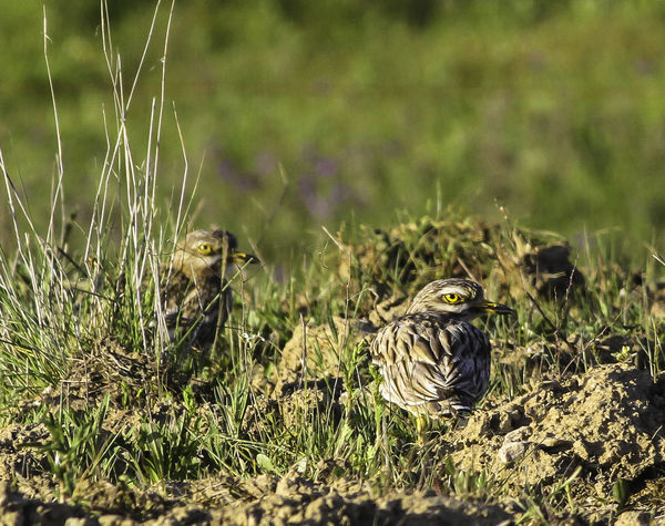 Animal Themes Animals In The Wild Bird Bird Photography Burhinus Oedicnemus European Birds Grass Nature Nature Nature Photograhy Nature Photography No People Stone Curlew Western Palearctic