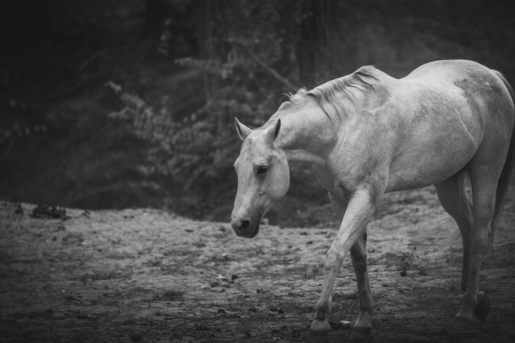 Once Wild Here Animal Themes Animals In The Wild Blackandwhite Photography Day Field Herbivorous Hoofed Mammal Horse Horse Photography  Landscape Mammal Nature No People One Animal Outdoors Photographyisthemuse
