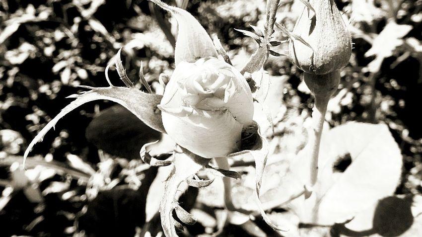 The power of black and white, the Rose... Eyeemnaturelover Eyem Best Shots - Black + White Blackandwhite Photography EyeEm Best Edits EyeEm Nature Lover Black And White EyeEm Best Shots - Nature ¡Eyeem Addict! Flowers,Plants & Garden Eyemm Nature Lover