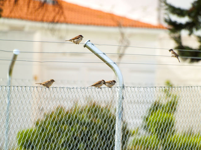Adapted To The City Animal Themes Animal Wildlife Animals In The Wild Bird Birds Close-up Day Fence Focus On Foreground Grass Metallic Fence Nature No People Outdoors Passer Passer Domesticus Perching Bird Protection Rural Scene Sky Sparrow Sparrows Urban Birds Wildlife