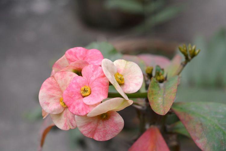 Close-up of pink euphorbiaceae blooming outdoors
