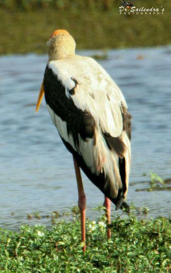 Painted storke