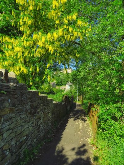 laburnum in bloom Countryside Walk New Mills High Peak Laburnum Footpath Walking Walking In The High Peak Beautiful Place Scenic Scenics - Nature Outdoors Summer Summertime Peaceful Beautiful Villages Derbyshire Colours Of Summer Summer Colours Narrow Tree Shadow Green Color Plant Greenery Pathway Blossoming  Countryside Walkway Tranquil Scene Tranquility