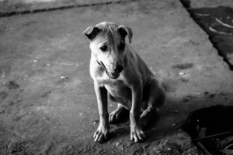 Animal Themes Day Dog Domestic Animals Mammal Nature No People One Animal Outdoors Pets Weimaraner