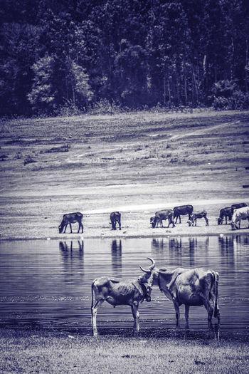 Horses in the sea