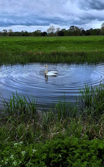Mute Swans;