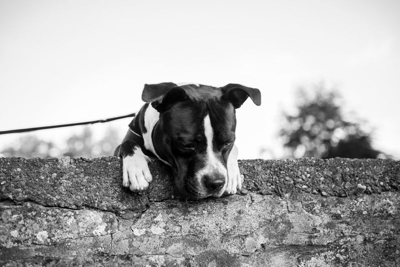 Dog Pets Domestic Animals One Animal Animal Themes Mammal Animal Looking At Camera Outdoors Hund Black And White Photography Black And White Black&white No People Day Sky Kampfhund Dog Love Dogs Of EyeEm Dog❤ Nopeople Pet Portraits No People, Mauer Pet Portrais