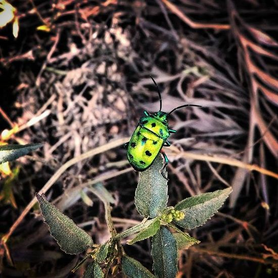 Today's find!! I don't think I'll ever get bored of capturing this beauty :-D Insect Bug Green Creature Nature is Creative Greenbeetle Beetle Trippy NatureIsBeautiful Wild Lands Natgeoyourshot Instapic Instagram India South Naturelovers HTC Macro Macros Indiapictures Photooftheday Photographersofindia Ig_india