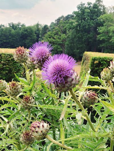 Dreamy Gardens Life Oneplusphotography Oneplus6 Flower Head Flower Thistle Purple Springtime Wildflower Sky Close-up Plant Blooming Petal Cosmos Flower Blossom Plant Life