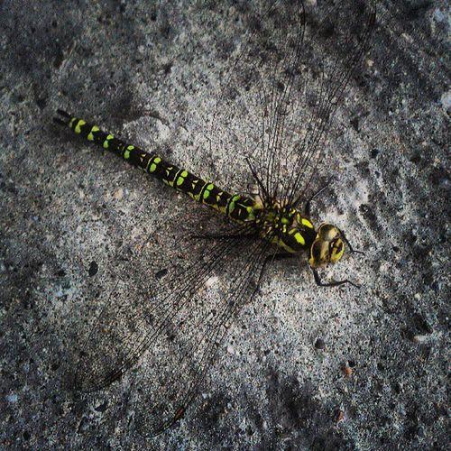 Libella Insect