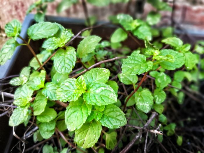 Leaf Plant Growth Green Color Nature Close-up Focus On Foreground Outdoors No People Freshness Day Beauty In Nature Fragility Mint Leaves Mint Mint Blossom Mint Plants Wild Mint Pudina Pudina_leaf