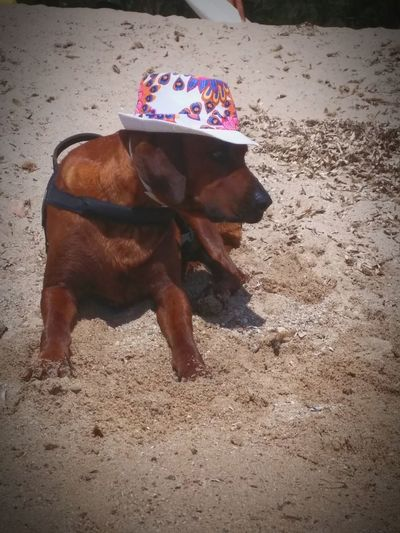 It's not important to take a great picture! this is a smiling picture only..:smile! Traditional Rhodesian Ridgeback lifeguard 😎😂 Mobile Photography Non-urban Scene Sun EyeEmNewHere Outdoors Photography Eyem Gallery Dog Pets One Animal Dogs Dogs Of EyeEm Dogslife Vacations No People Beach Lifeguard  Cap Funny Rhodesian Ridgeback Dogslovers Animal Themes Cute Worker Cool Outdoors