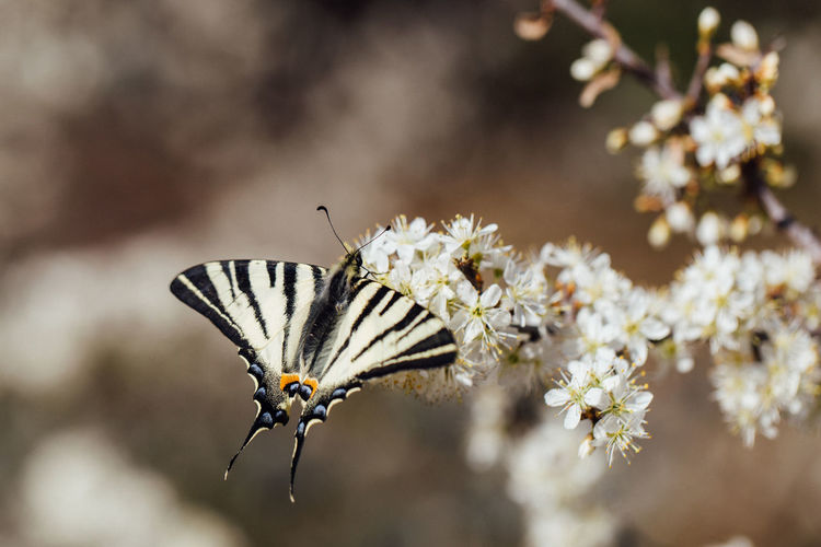 Butterfly and flowers Flower Animal Themes Animal Wildlife Beauty In Nature Vulnerability  Close-up Animal Wing Freshness Nature Springtime Pollination Fragility Animals In The Wild Invertebrate Butterfly Macro Photography Spring Tree Papilio Machaon