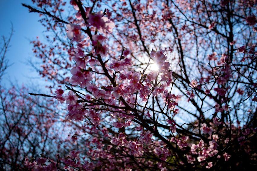 Something Pink Tree Plant Flower Branch Low Angle View Flowering Plant Blossom Beauty In Nature Growth Springtime Nature Fragility Sky Freshness Pink Color No People Vulnerability  Cherry Blossom Cherry Tree Day