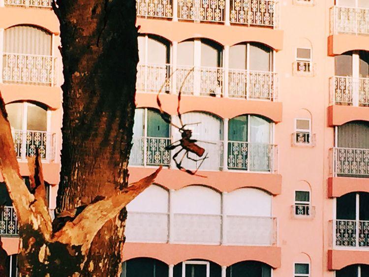 Banana Spider