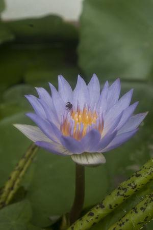 Bangkok Thailand. Flower Collection Lotus Macro Photography Macro_collection Nature Photography Nature_collection Nikon D5000 Purple Lotus
