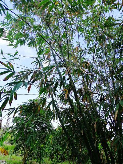Bamboo Nature
