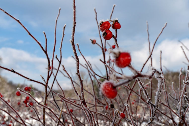 Close-up of red berries growing on tree during winter