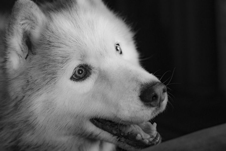 Old Huskey Animal Animal Body Part Animal Eye Animal Head  Animal Themes Canine Close-up Dog Domestic Domestic Animals Focus On Foreground Indoors  Looking Looking Away Mammal Mouth Open No People One Animal Pets Portrait Profile View Side View Snout Vertebrate Whisker