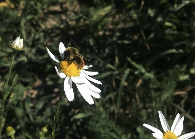 Honeybee on a Daisy. Flower Daisy HoneyBee Petal Insect Pollenation Animals In The Wild One Animal White Color Flower Head Plant Pollen Focus On Foreground Horizontal
