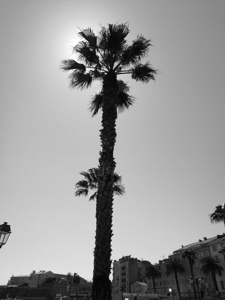 Tree No People Silhouette Sky Nature Outdoors Day Soleil Et Ombres Soleil☀️ Soleil Sun ☀ Palmiers 🌴👣 Palmiers Nature Palm Tree Tree Noirblanc Ombres Et Lumières Noirphotography Welcome To Black Noir & Blanc  Blackwhite Black And White Collection  Light And Shadow Corse Ajaccio Welcome To Black Black And White Friday
