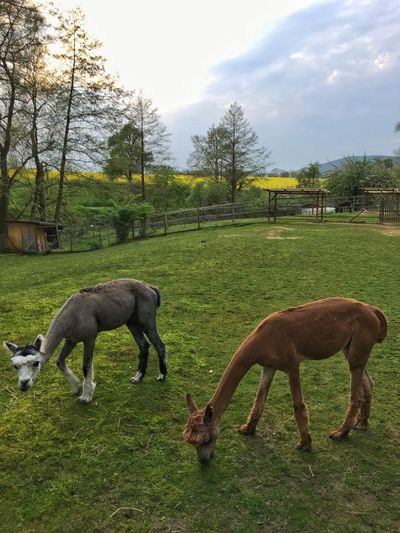 Alpacas grazing grass Animal Themes Mammal Domestic Animals Grass Field Tree Horse Nature Young Animal Grazing Livestock Day No People Green Color Foal Sky Full Length Outdoors Beauty In Nature Alpaca Alpacas Beautiful Landscape Tranquil Scene Countryside