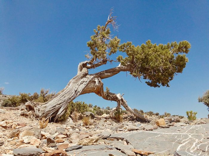 Low angle view of dead tree against clear blue sky