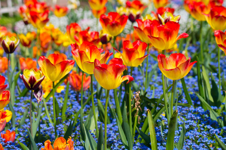 Close-up of colorful Tulips in Spring. Spring Flowers Colorful Colors Garden Spring Flowering Colors Colorful Summer Summertime Freshness Growth Season  Abundance Beauty In Nature Blooming Close-up Freshness In Bloom Outdoors Tulip Tulips Yeah Springtime! Yellow