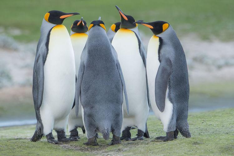 Penguins standing on grassy field