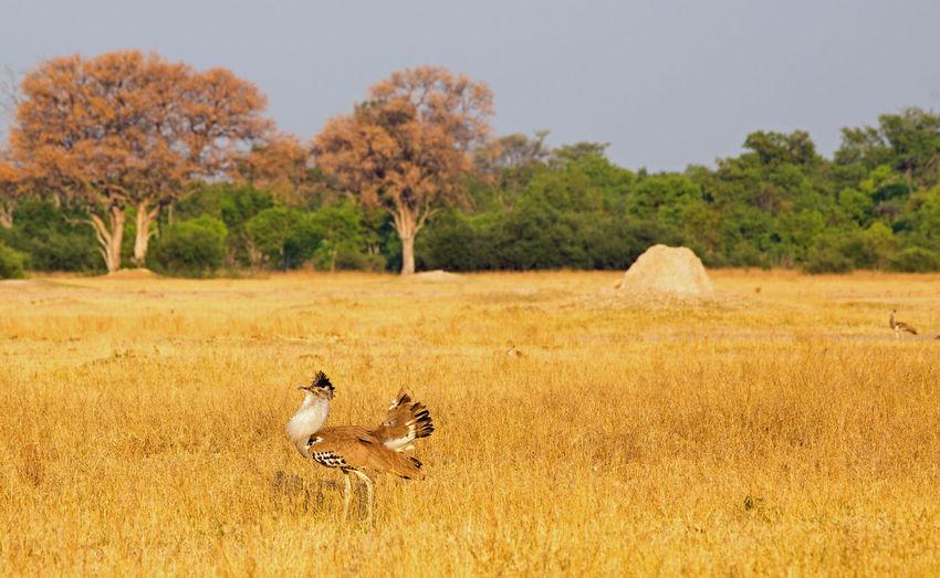 Animal Themes Animal Animals In The Wild Animal Wildlife Bird Tree Nature Field Land Grass Day Landscape Beauty In Nature Kori Bustard Hwange National Park Plains Savannah