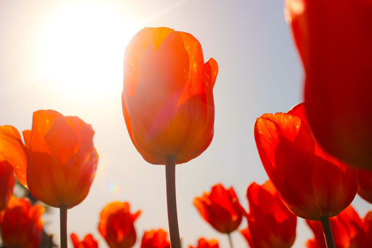 Close-up of red tulips against orange sky