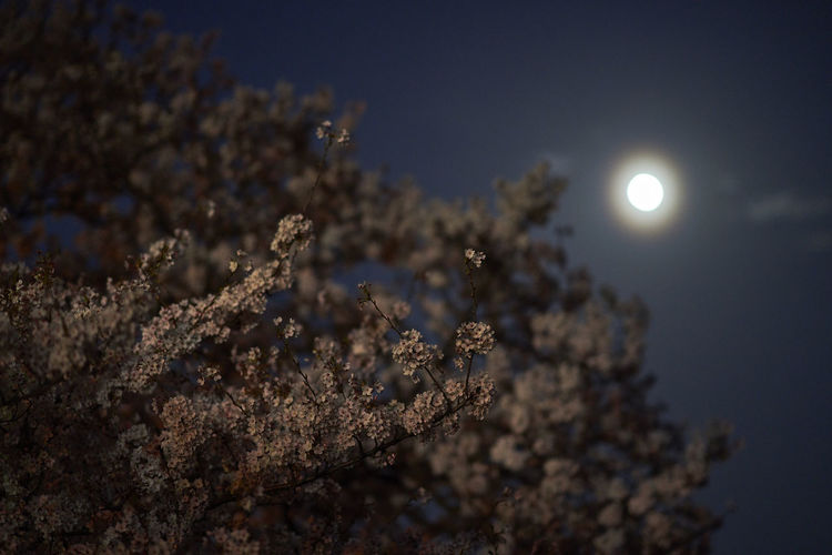 Cherry Blossom Cherry Blossoms Beauty In Nature Cherry Tree Cherryblossom Low Angle View Moon Moonlight Nature Night No People Outdoors Plant Sky Tree The Week On EyeEm Editor's Picks